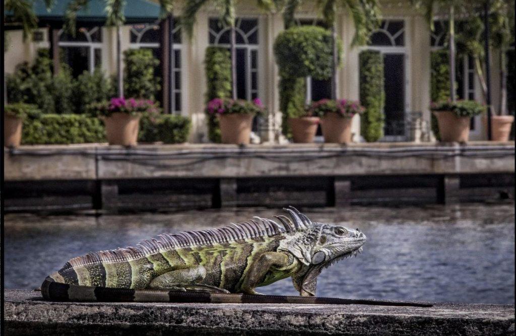 Iguanas South Florida East Coast Sprayers 1024x667 1