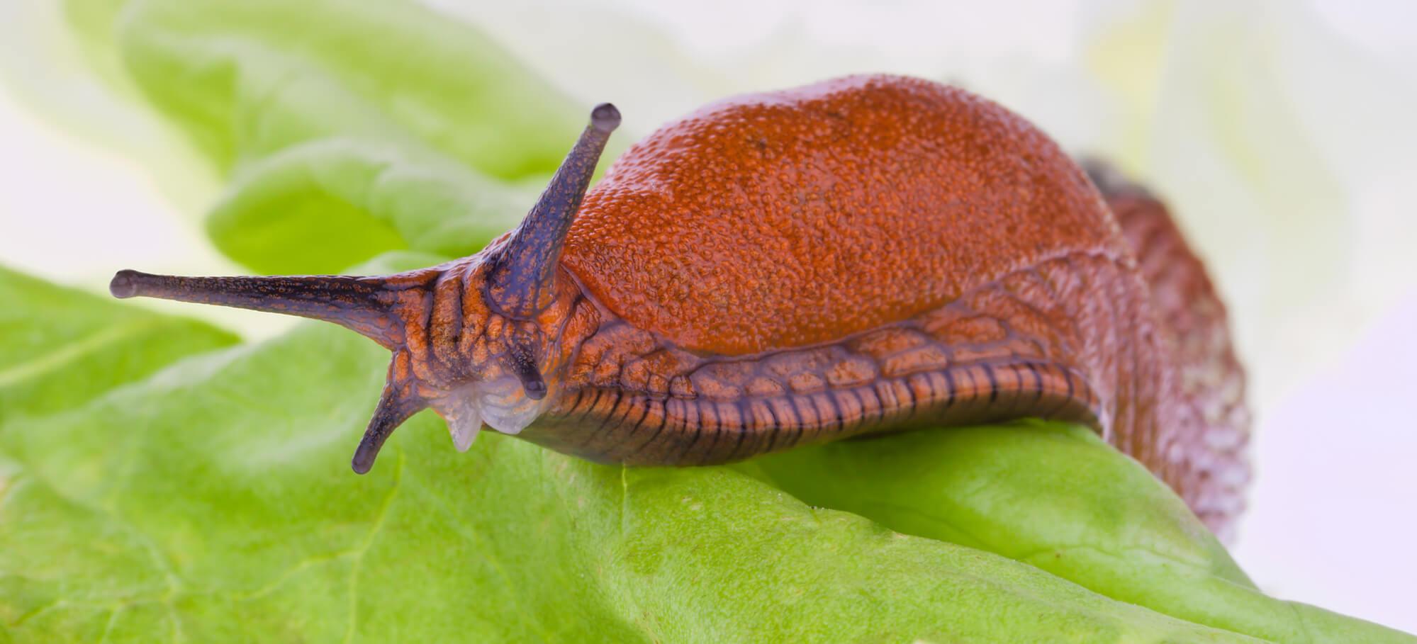 slimy brown slug on a leaf